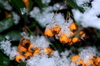 Firethorn in the snow