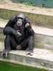 Chimp on steps
