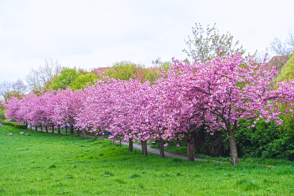 blossoming cherry trees: blossoming cherry trees