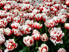 flower dome tulip display3