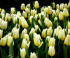 flower dome tulip display8