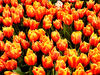 flower dome tulip display9