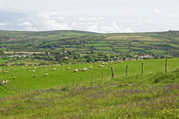 Landscape with sheep: Landscape with grazing sheep in Pembrokeshire, Wales.