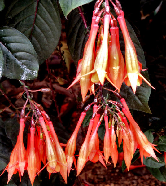 fuchsia features3: flowering fuchsia shrub