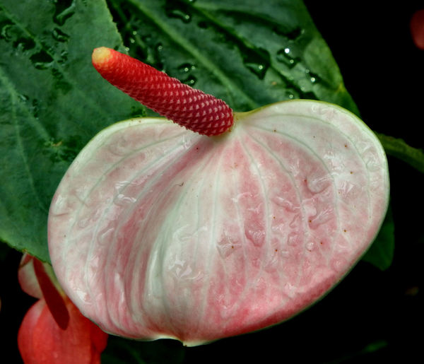 bright tail flowers8: glossy and distinctive tropical anthurium flowers companion flowers with other foliage & flowering plants