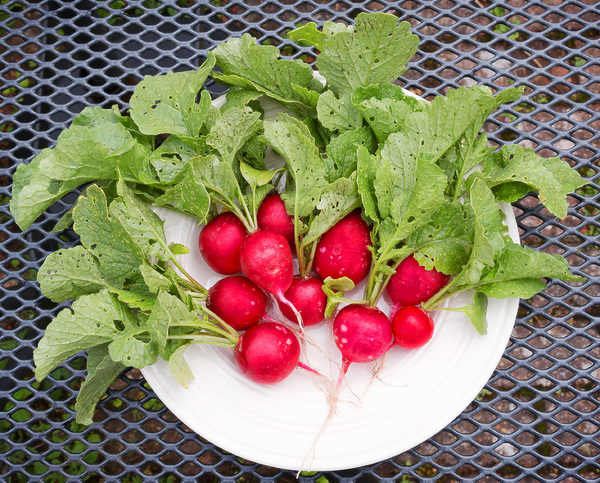 Radishes: Freshly harvested