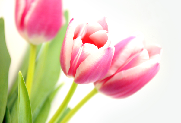 flowers: pink tulips