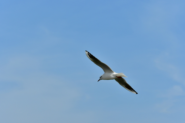 Sea Gull in Flight: Flying Sea Gull over the sea front in the blue sky at the sea shore. Free and wild these seagulls are everywhere and they are so beautiful when they have their wings open in the sky