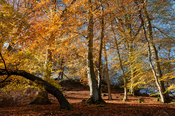 Autumn woodland: Beech (Fagus) woodland in West Sussex, England, in autumn.