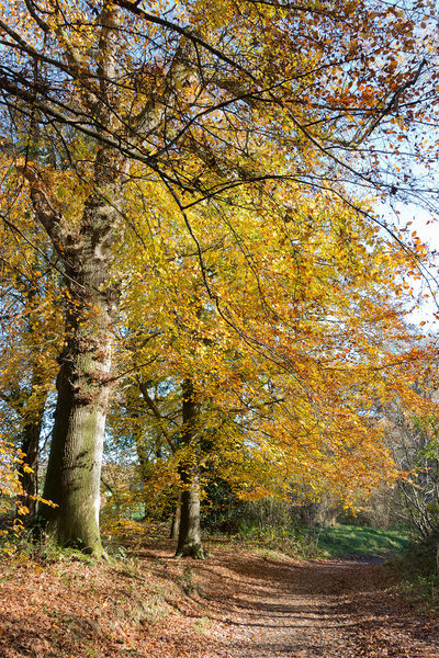 Autumn forest footpath: A forest footpath in autumn in West Sussex, England.
