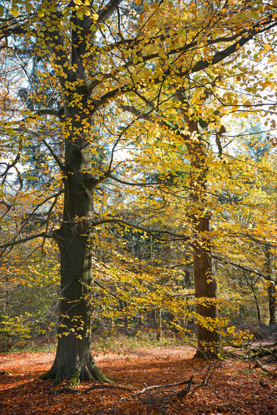 Two trees in autumn: A beech (Fagus) tree and an oak (Quercus) tree in West Sussex, England, in autumn.