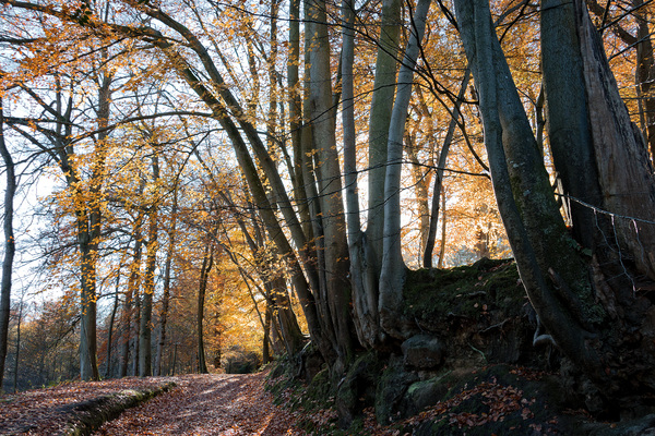 Autumn forest: Beech (Fagus) trees in autumn in West Sussex, England.