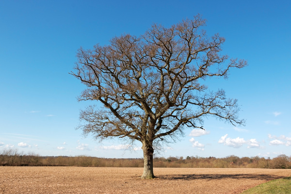 Tree in early spring: A single oak tree in early spring in Sussex, England.