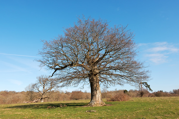 Squat tree in early spring: A broken but re-grown oak tree in Sussex, England, in early spring.