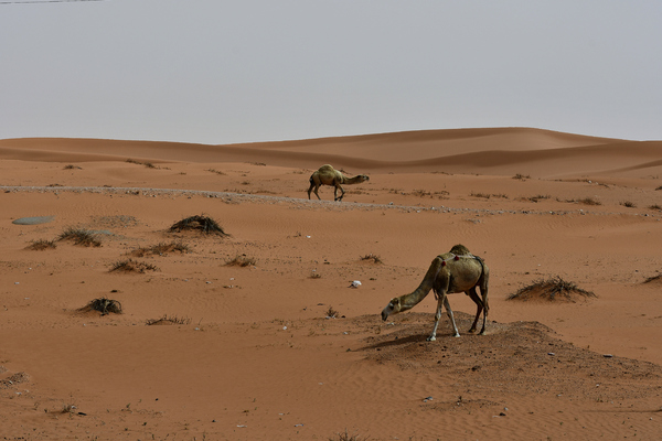 Camels found in the desert: Desert landscape in red sand and some rocks found . This is in the heart of Saudi Arabian desert. Camels usually are free and can be found anywhere on the desert surface.