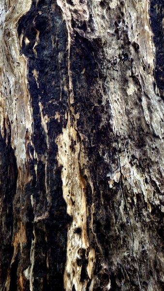 scarred burnt tree trunk4: abstract background of burnt & charred eucalyptus tree trunk
