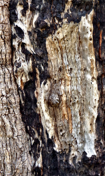 scarred burnt tree trunk1: abstract background of burnt & charred eucalyptus tree trunk