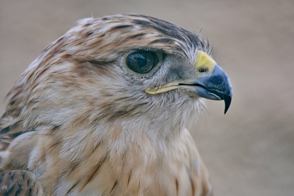Portrait of the Brown Falcon: Close up Portrait photo of the Brown Falcon in the zoo