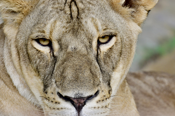Portrait of a Lioness: Close up portrait photo of the Lioness the female Lion