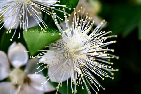 white stamen spray1: flowering varieties with large number of stamens