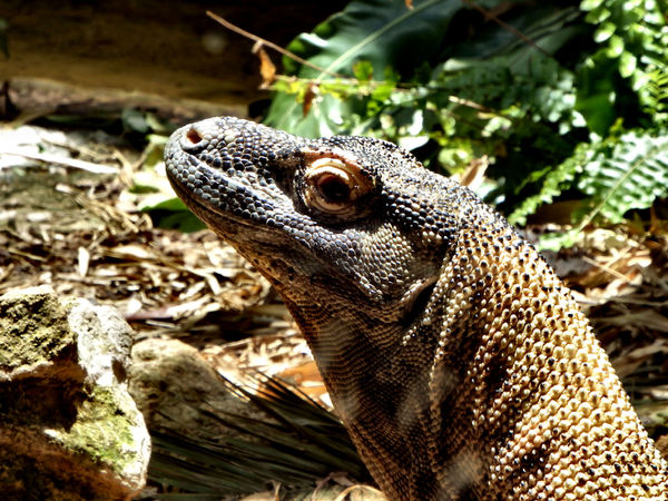 komodo dragon2: tough skinned largest Asian land lizard