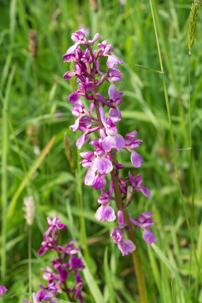 Early purple orchid: Early purple orchid (Orchis mascula) growing wild in Cornwall, England, in spring.