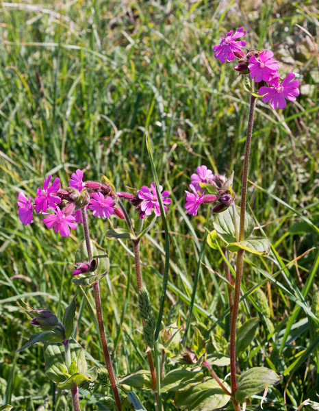 Red campion flowers: Red campion (Silene dioica) in flower on the coast of northern Cornwall, England, in spring.