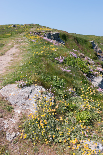 Coastal path and flowers: A coastal footpath with wild spring flowers in northern Cornwall, England.