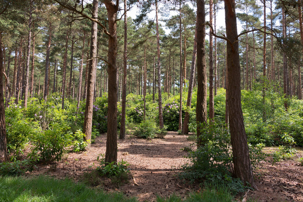 Pine forest: Pine forest with naturalised rhododendron bushes in Sussex, England.