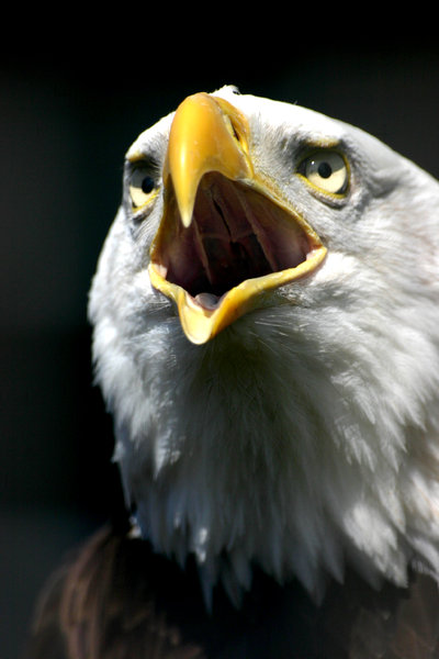 Bald Eagle 2: :) I love these things, theyre so dam powerful. Id love to be an eagle.