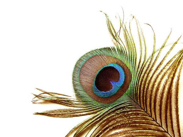 The eye of a peacock