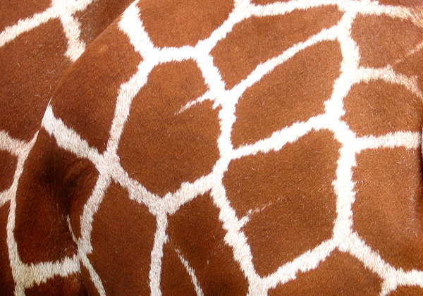 giraffe: detail of the giraffe patterns