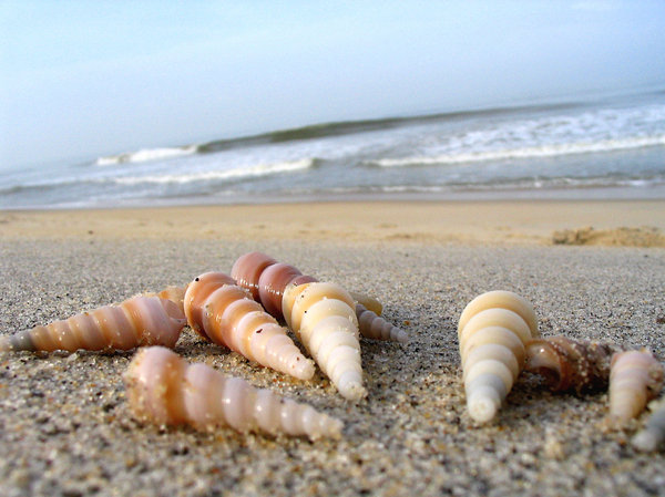 augur shells on the sand: Augur shells on the sand.