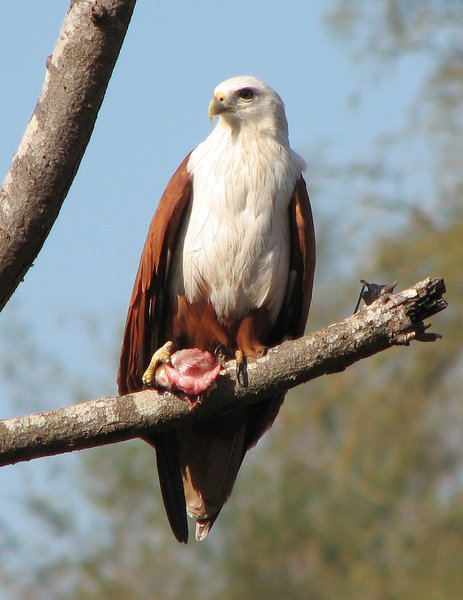 Kite: A young Brahminy Kite with a fish in its talons