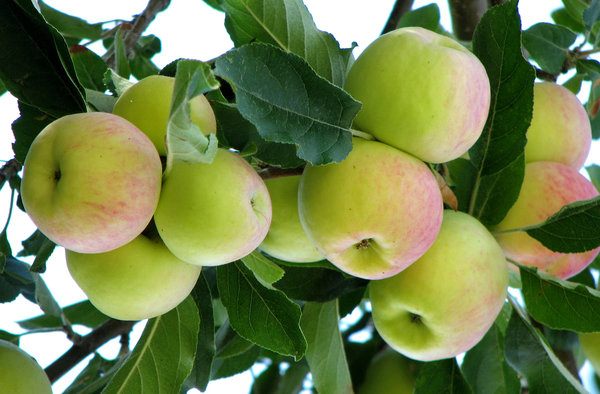 Apples: Fresh Apples on the tree, Nubra valley.