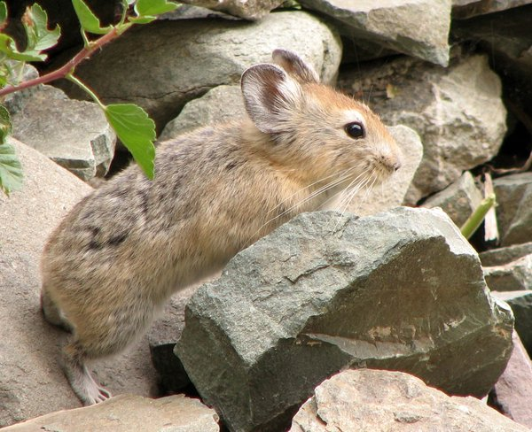 Pika: Pika at the Hemis National Park, Ladakh