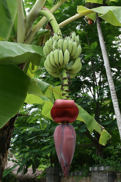 Banana flower: The large terminal flower of a banana palm
