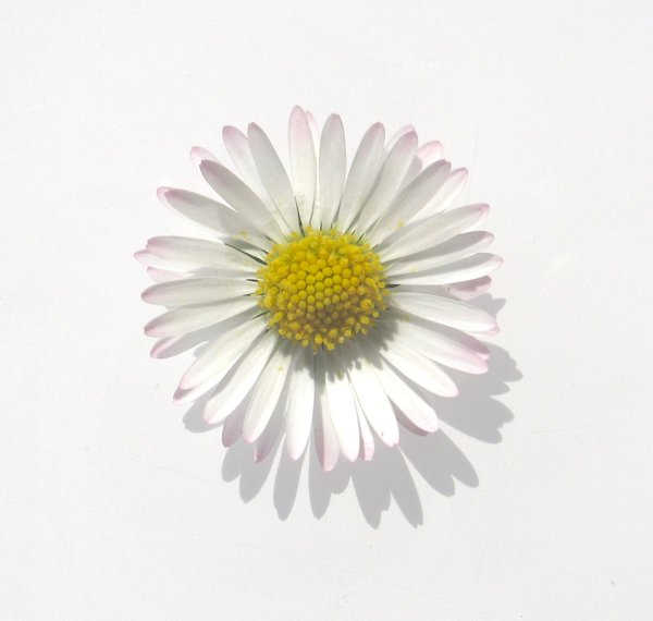 white daisy: none