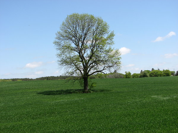 Lonely Tree: A lonely tree stands in the middle of a farmer's field, in spring.Please let me know if you are able to use my pictures for something.Even if it's something small --I would be absolutely thrilled to know if they came in useful for anyone!
