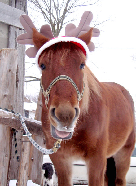 Christmas Horse 2: Canadian Horse dressed as Rudolph. It's a good thing he didn't have a mirror!! ;-)Please let me know if you are able to use my pictures for something.Even if it's something small --I would be absolutely thrilled to know if they came in useful for anyone!