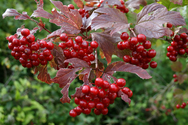 Berries: Berries of a wayfaring (Viburnum) tree in West Sussex, England, in autumn.