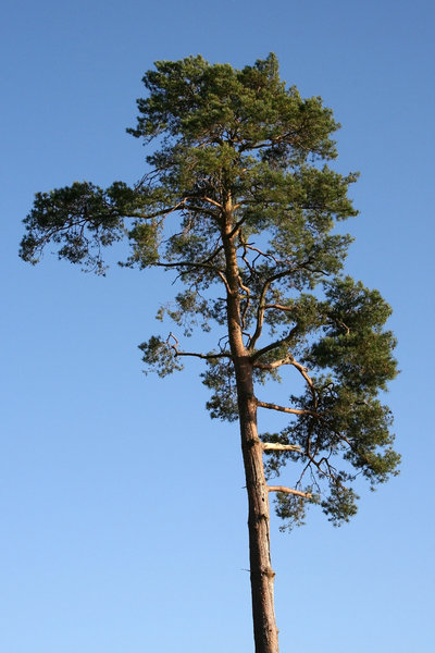 Scots pine: A Scots pine (Pinus sylvestris) tree in a park in East Sussex, England.