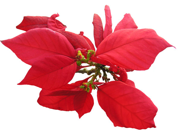 Poinsettia: Poinsettia (euphorbia pulcherrima) also called Christmas Star or Mexican Flame Leaf,  Winter Rose, Noche Buena ,Ataturk's Flower.Please mail me or comment this photo if you liked/used it. Thanks!