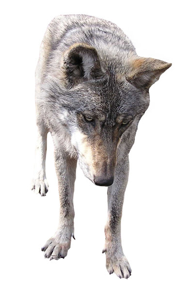 Wolf: A wolf. Dangerous wild dog-like animal. A hundred years ago packs of wolves were killing people in Poland. Many people. Those are historical facts and you CAN'T argue with that.Right now they aren't so dangerous but still I wouldn't like to be a sheep!Ple