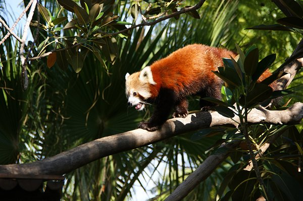 Red Panda: no description