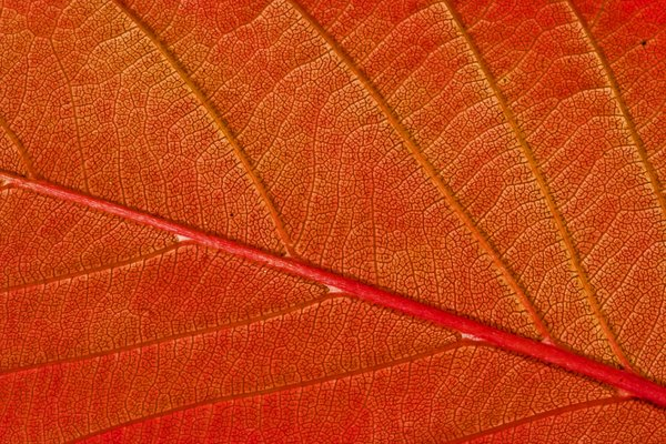 Autumn Leaf Macro: Macro shot of a prunus leaf in full autumn colour.