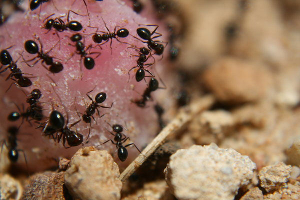 Scary Sweet: Ants on a Lolly