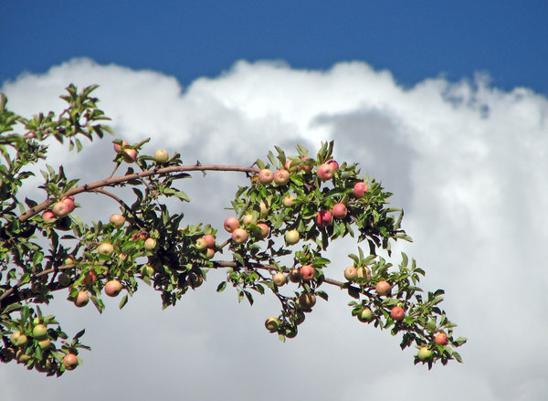 Apples: Apple Orchard, Ladakh.