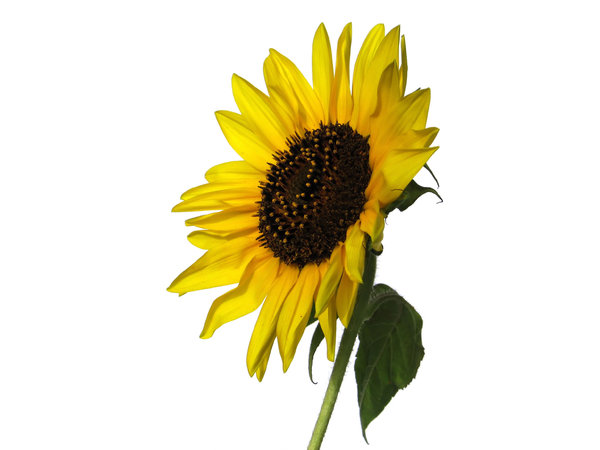 sunflower 2: none