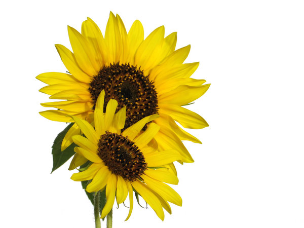sunflower 4: none